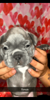 French Bulldog Puppies for sale in Merced, CA 95340, USA. price: NA