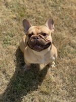 French Bulldog Puppies for sale in Belleville, IL, USA. price: NA