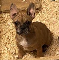 French Bulldog Puppies for sale in Pinon Hills, CA, USA. price: NA