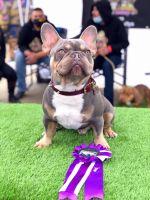 French Bulldog Puppies for sale in Modesto, CA 95351, USA. price: NA
