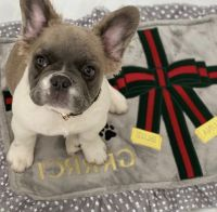 French Bulldog Puppies for sale in Denver, CO, USA. price: NA
