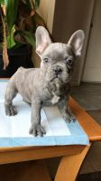 French Bulldog Puppies for sale in Hemet, CA, USA. price: NA