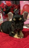 French Bulldog Puppies for sale in MA-110, Methuen, MA, USA. price: NA