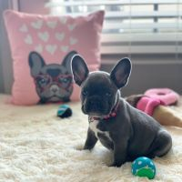 French Bulldog Puppies for sale in Sanford, FL, USA. price: NA