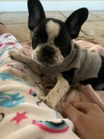 French Bulldog Puppies for sale in Lee's Summit, MO, USA. price: NA