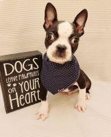 French Bulldog Puppies for sale in Fairhope, AL 36532, USA. price: NA