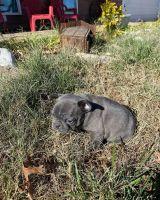 French Bulldog Puppies for sale in Pico Rivera, CA, USA. price: NA