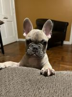 French Bulldog Puppies for sale in Long Beach, CA, USA. price: NA