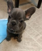 French Bulldog Puppies for sale in Valley Glen, CA 91405, USA. price: NA