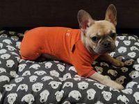 French Bulldog Puppies for sale in Deltona, FL 32725, USA. price: NA