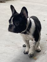 French Bulldog Puppies for sale in Inglewood, CA 90302, USA. price: NA