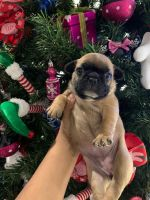 French Bulldog Puppies for sale in Stuart, FL, USA. price: NA