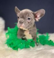 French Bulldog Puppies for sale in Manhattan, New York, NY, USA. price: NA