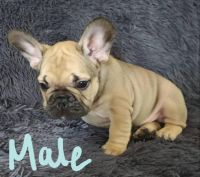 French Bulldog Puppies for sale in Cottage Grove, MN 55016, USA. price: NA