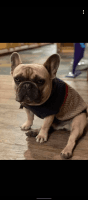 French Bulldog Puppies for sale in Houston, TX 77040, USA. price: NA