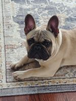 French Bulldog Puppies for sale in Wake Forest, NC 27587, USA. price: NA
