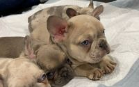 French Bulldog Puppies for sale in Lakewood, CA, USA. price: NA