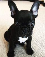 French Bulldog Puppies for sale in Boston Ave, Medford, MA 02155, USA. price: NA