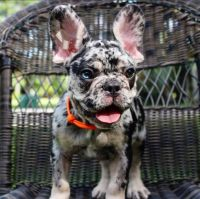 French Bulldog Puppies for sale in Austin, TX, USA. price: NA