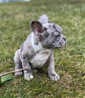 French Bulldog Puppies for sale in Cliffside Park, NJ, USA. price: NA