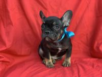 French Bulldog Puppies for sale in Hacienda Heights, CA 91745, USA. price: NA