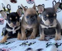 French Bulldog Puppies for sale in 29 Elk St, Albany, NY 12207, USA. price: NA