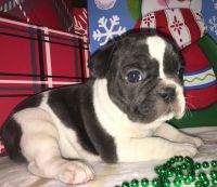 French Bulldog Puppies for sale in Detroit, MI, USA. price: NA