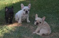 French Bulldog Puppies for sale in 89030 Fir Butte Rd, Eugene, OR 97402, USA. price: NA