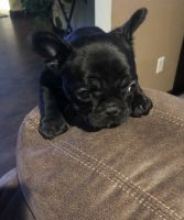 French Bulldog Puppies for sale in Fort Collins, CO, USA. price: NA
