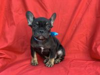 French Bulldog Puppies for sale in La Habra Heights, CA, USA. price: NA