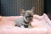 French Bulldog Puppies for sale in 440 W 114th St, New York, NY 10025, USA. price: NA
