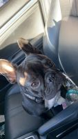 French Bulldog Puppies for sale in Naples, FL, USA. price: NA