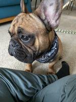 French Bulldog Puppies for sale in Newport News, VA, USA. price: NA