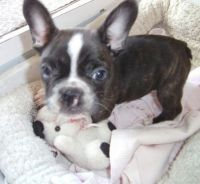 French Bulldog Puppies for sale in Chesapeake, VA, USA. price: NA