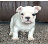French Bulldog Puppies for sale in San Jose Ave, San Jose, CA, USA. price: NA