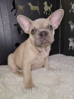 French Bulldog Puppies for sale in Phoenix, AZ, USA. price: NA