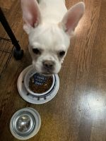 French Bulldog Puppies for sale in 7725 S Kingston Ave, Chicago, IL 60649, USA. price: NA