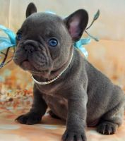 French Bulldog Puppies for sale in Columbus, OH, USA. price: NA