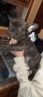 French Bulldog Puppies for sale in Boon, MI 49618, USA. price: NA