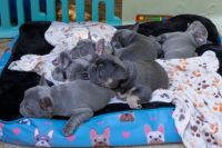 French Bulldog Puppies for sale in Secaucus, NJ, USA. price: NA