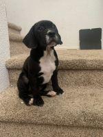 French Bulldog Puppies for sale in Santa Rosa, CA 95407, USA. price: NA
