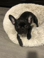 French Bulldog Puppies for sale in Moreno Valley, CA, USA. price: NA