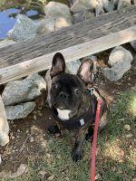 French Bulldog Puppies for sale in Phoenix, AZ 85051, USA. price: NA