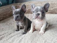 French Bulldog Puppies for sale in Dallas, TX, USA. price: NA