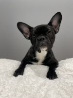 French Bulldog Puppies for sale in Jackson Heights, Queens, NY, USA. price: NA