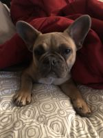 French Bulldog Puppies for sale in Colorado Springs, CO, USA. price: NA