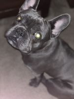 French Bulldog Puppies for sale in Clayton, OH, USA. price: NA