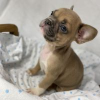 French Bulldog Puppies for sale in Camden, NJ, USA. price: NA