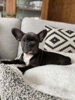 French Bulldog Puppies for sale in City of Orange, NJ 07050, USA. price: NA