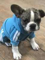 French Bulldog Puppies for sale in Finger Lakes, NY, USA. price: NA